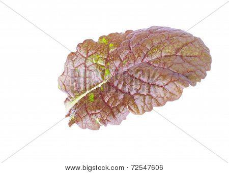 Single Leaf of Mustard Salad