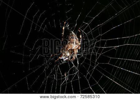 European Garden Spider On Black Background With White Net