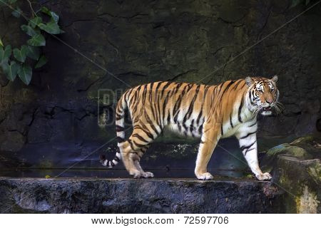 Liana And Siberian Tiger.