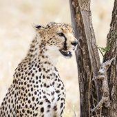 African cheetah looking for enemies at the Savannah in Serengeti, Tanzania. poster