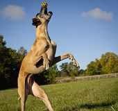 Great Dane on hind legs trying to catch yellow spotted ball on tip of nose poster