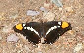 Arizona Sister (Adelpha eulalia) Butterfly on the ground in the desert poster