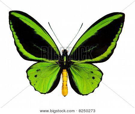 A green butterfly