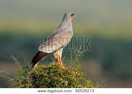 Pale Chanting goshawk (Melierax canorus) perched on a tree, South Africa