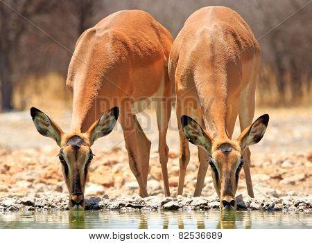2 Black faced Impala at waterhole