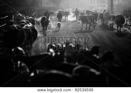Cows And Horses At Sunrise