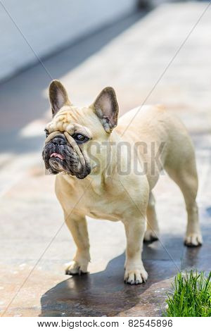 Dog French Bulldog standing outdoors