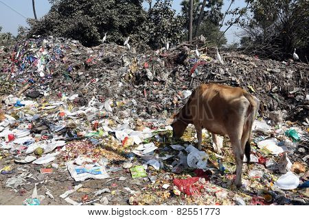 KOLKATA, INDIA - FEBRUARY 09, 2014: Streets of Kolkata. Animals in trash heap in Kolkata, India on February 09, 2014
