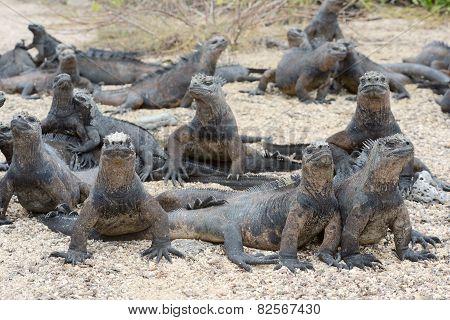 Marine Iguanas Bask In The Sun,  Galapagos