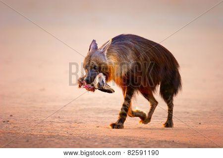 Brown hyena (Hyaena brunnea) with prey (baby bat-eared fox) in mouth  - Kalahari desert (South Africa)