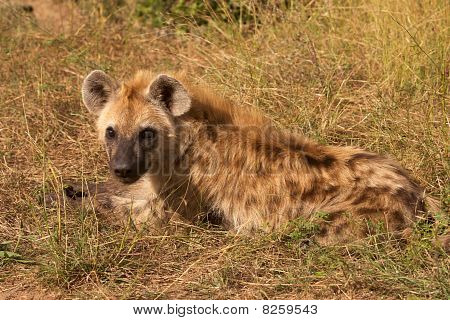 Young spotted hyaena (Crocuta crocuta) in the Kruger National Park. poster