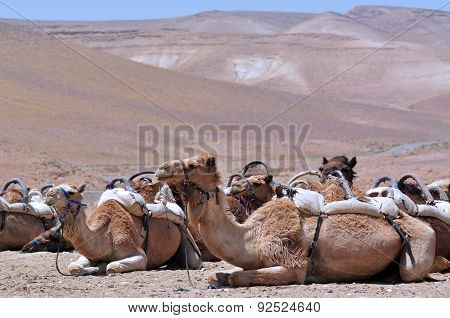 Convoy Of Camels Rest During A Desert Voyage