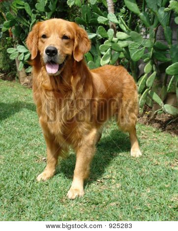 Golden Retriever Stand