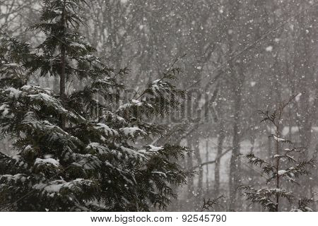 Wintery scene landscape with a pine tree in the woods and falling snow.