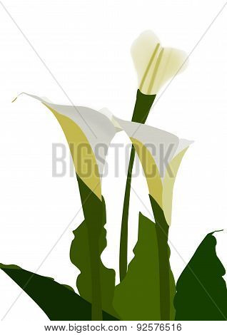 Arum Lily Group Of Three Illustration