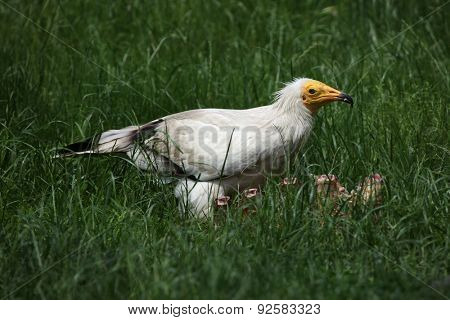 Egyptian vulture (Neophron percnopterus), also known as the white scavenger vulture.  poster