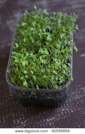 Micro Greens Mizuna On Dark Wooden Surface