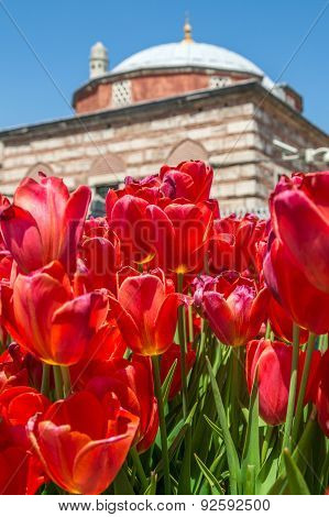 Red tulips in front of the Aya Sofia, Istanbul