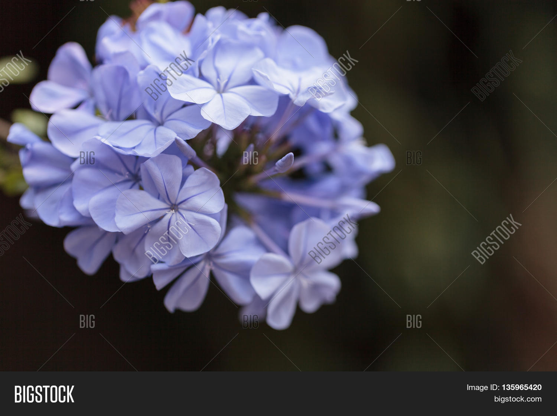 Blue Flowers Petrea Image Photo Free Trial Bigstock