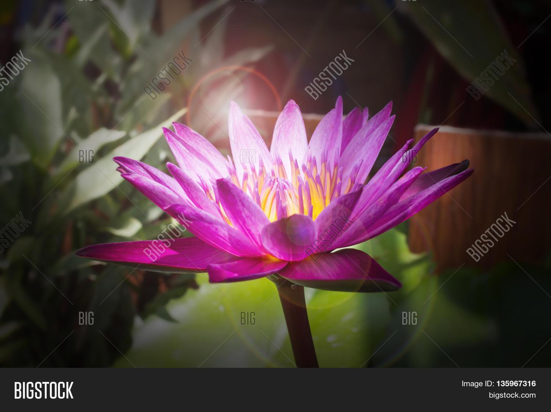 Lotus Flower Blossom Darkness Image Photo Bigstock