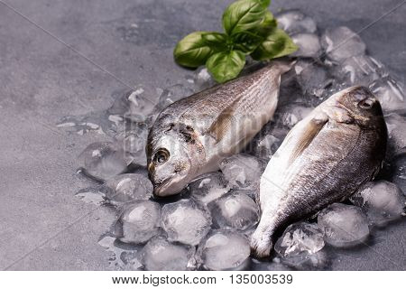 Raw delicious fresh fish on ice on dark gray background. Gilt-head sea bream fish on ice. Decorated with basil. Copy space.