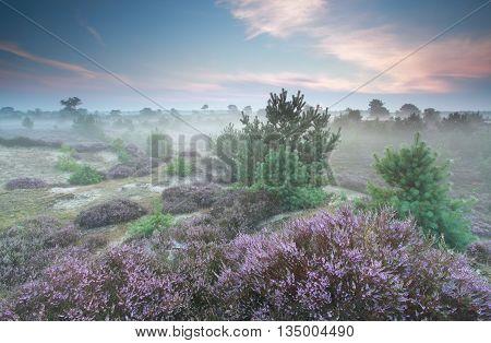 misty heathland in summer Drenthe the Netherlands