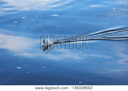 Catch of fish with water splash in blue sea water.