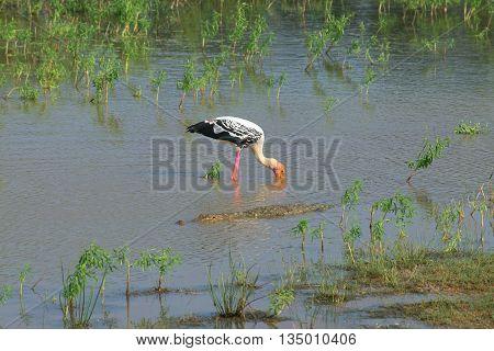 Crocodile and bird marabou in the middle of the lake. Sri Lanka
