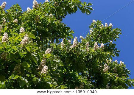 Flowering branches of chestnut tree on blue sky - Castanea sativa