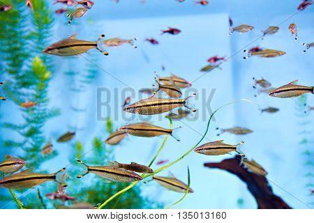 The flock puntius denisonii in big aquarium
