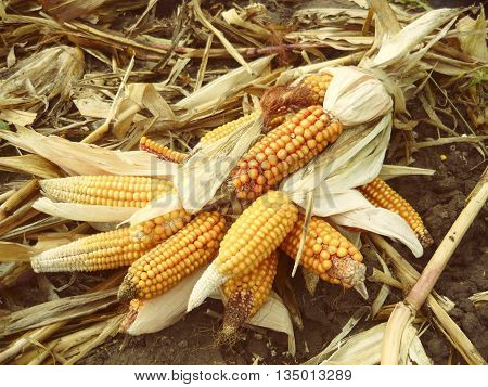the harvest of corn cobs substandard on field