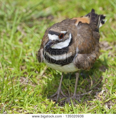Killdeer on the grass in the daytime in North Carolina