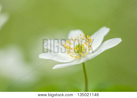 in the spring you find in the woods with this beautiful Anemone emorosa