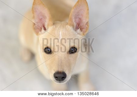 Cute puppy is a cute curious puppy looking up with those great big inquisitive eyes.