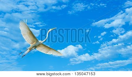 Elegant white Great Egret over blue cloudy sky