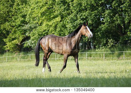 Holsteiner Horse On Pasture