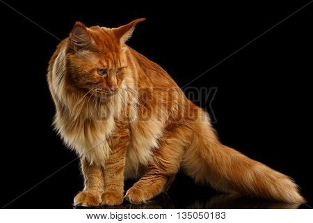 Red Maine Coon Cat with Furry Tail Standing and Looking down Isolated on Black Background