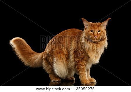 Red Maine Coon Cat with Furry Tail Standing and Looking in Camera Isolated on Black Background, Side view