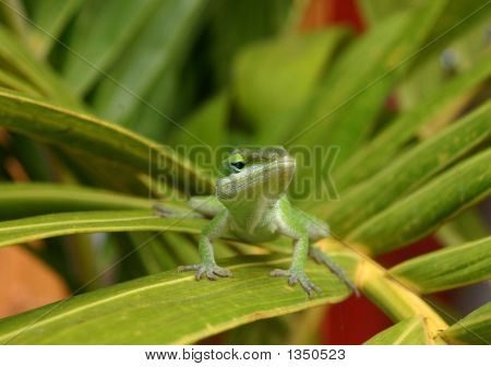 Cute Green Lizard (Anole Lizard) On Green Leaf