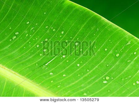 fresh green banana leaf with water drops