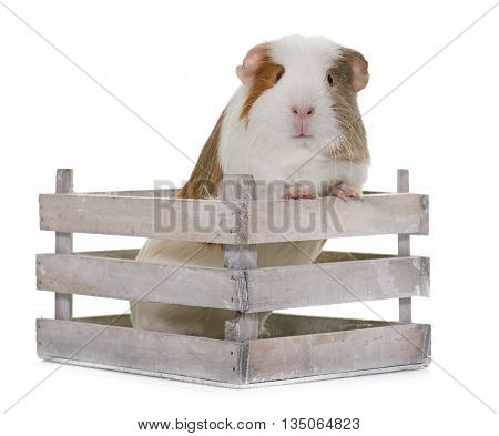 guinea pig in front of white background