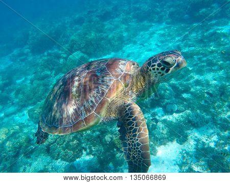 Sea turtle in blue water. Green sea turtle close photo.