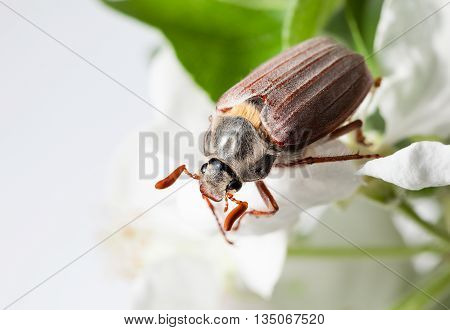 June Bug And White Apple Flower