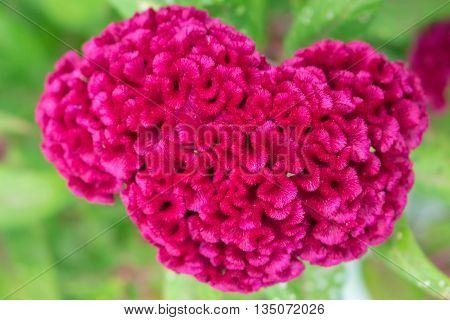 Magenta pink tropical flower Celosia cristata in tropic garden, Celosia cristata flower closeup, macro photo of exotic fluffy flower, deep red flower Celosia Cristata picture, tropical nature flower
