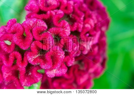 Pink flowers on green background. Beautiful flowers background for wedding scene. Celosia cristata tropical flower closeup. Macro photo of jungle flower Celosia. Deep red furry celosia flower image