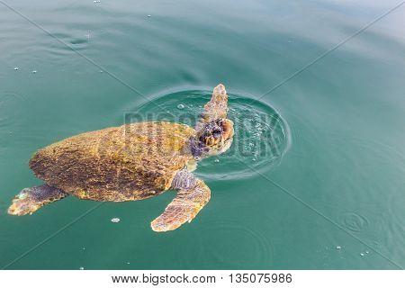 One big swimming sea turtle Caretta in Greece