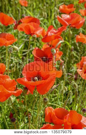 Cultivation Of Poppies (papaver Rhoeas) On The Field