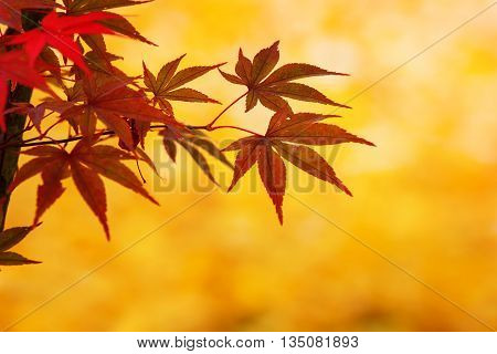 Red Maple Leaves in Autumn with Yellow Leaves Background