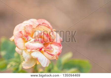Closeup a beautiful rose on blurred background