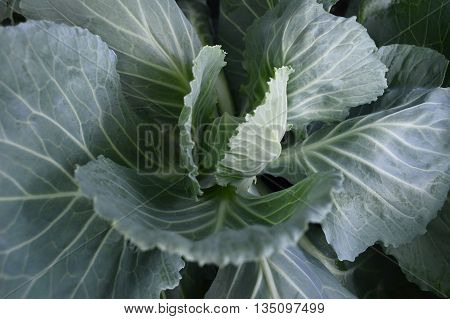 Cabbage, Brassica oleracea, Family Brassicaceae, Central of Thailand